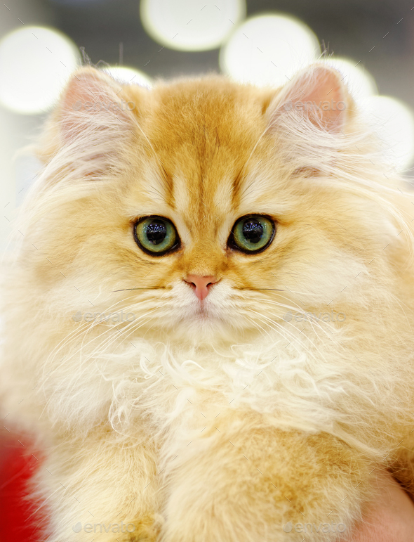 Very young red fluffy cat - Stock Photo - Images