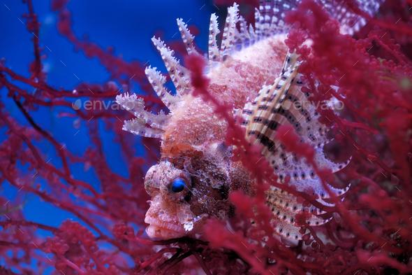 Lionfish (Dendrochirus brachypterus) - Stock Photo - Images