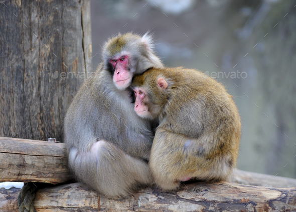 Pair of monkeys - Stock Photo - Images
