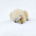 Polar bear on white snow - PhotoDune Item for Sale