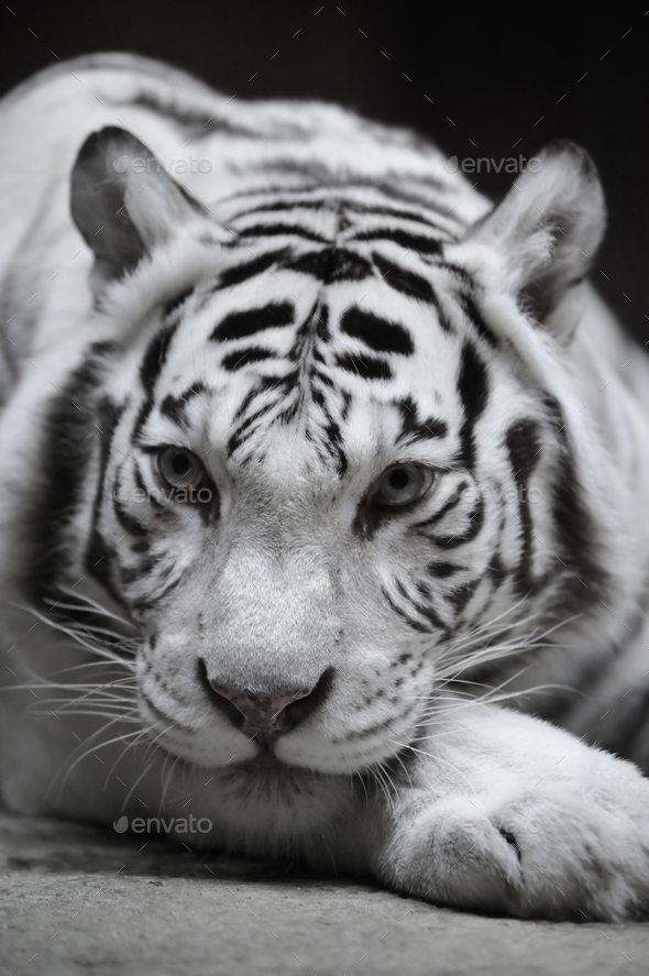 White tigress - Stock Photo - Images