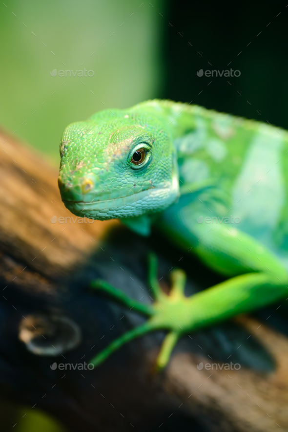 Green lizard, Fiji banded iguana - Stock Photo - Images