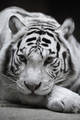 White tigress - PhotoDune Item for Sale