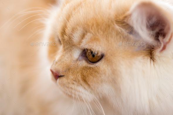 Relaxed orange-white cat - Stock Photo - Images