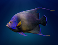 Adult Koran angelfish - PhotoDune Item for Sale