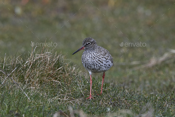 Common redshank (Tringa totanus) - Stock Photo - Images
