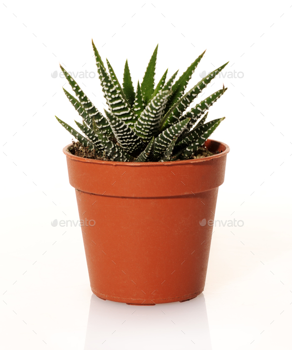 small succulent plant - Stock Photo - Images