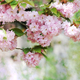 beautiful cherry blossoming - PhotoDune Item for Sale