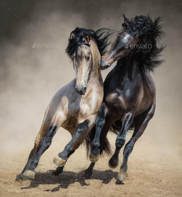 Red-gray Spanish stallion play with dun Spanish stallion - Stock Photo - Images