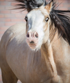 Funny dun Welsh pony with big expressive eyes - PhotoDune Item for Sale