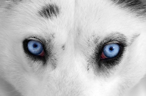 Husky eyes - Stock Photo - Images