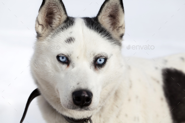 Husky portrait - Stock Photo - Images