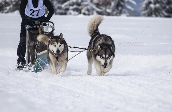 Dog sled race - Stock Photo - Images