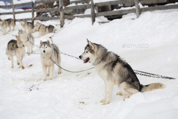 Husky waiting for the race - Stock Photo - Images