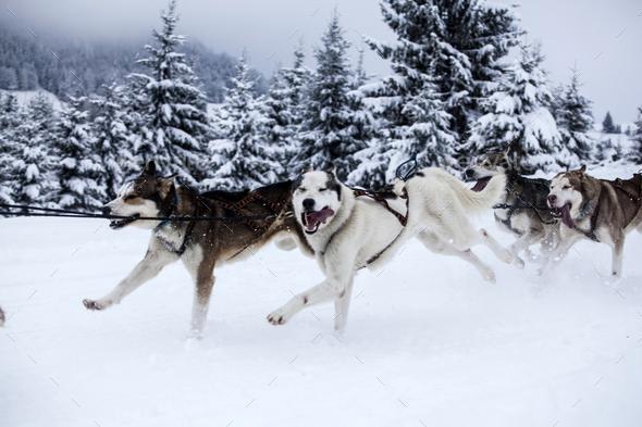 Husky-race - Stock Photo - Images