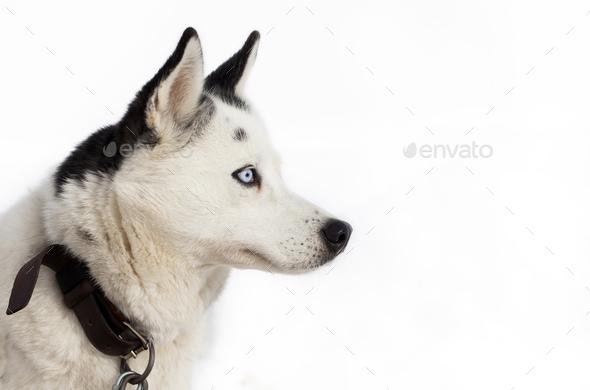 Husky portrait - Stock Photo - Images