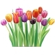 Bouquet of Multicolor Tulips - GraphicRiver Item for Sale