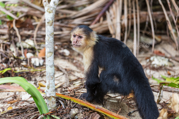 Monkey in Costa Rica - Stock Photo - Images