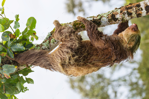 Sloth - Stock Photo - Images