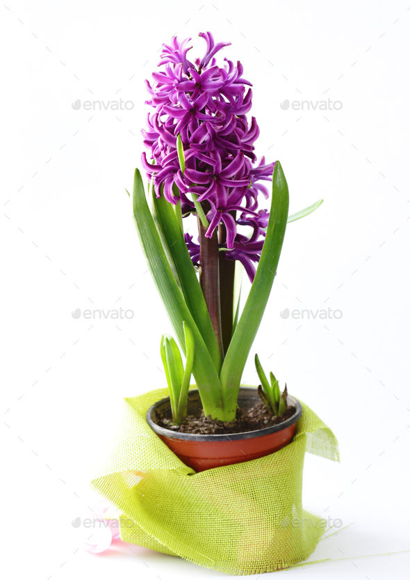 Hyacinth Flower  - Stock Photo - Images