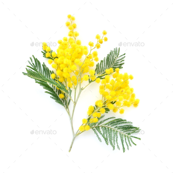 Mimosa (silver wattle) branch isolated on white background - Stock Photo - Images