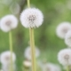 Glade Spring Dandelions - VideoHive Item for Sale