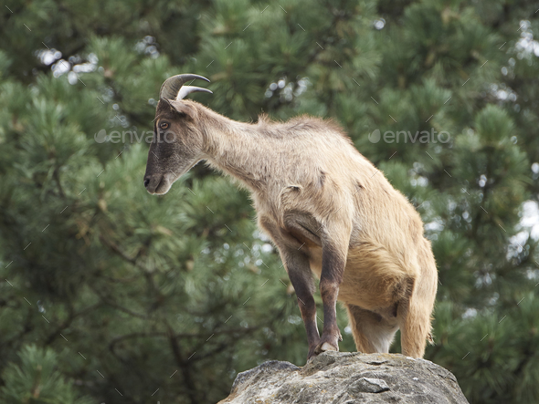 Himalayan tahr (Hemitragus jemlahicus) - Stock Photo - Images