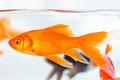 goldfish closeup in glass fish tank - PhotoDune Item for Sale