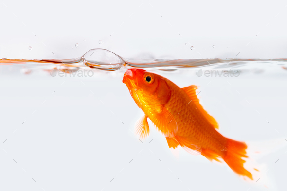 goldfish with air bubble in glass fish tank - Stock Photo - Images