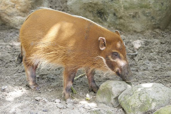 Red river hog (potamochoerus porcus) - Stock Photo - Images