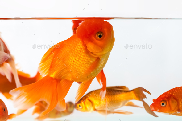 beautiful goldfish closeup - Stock Photo - Images