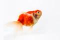 beautiful goldfish isolated - PhotoDune Item for Sale