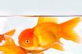 goldfish closeup in aquarium - PhotoDune Item for Sale