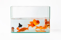 goldfish in glass fish tank isolated - PhotoDune Item for Sale