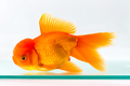 goldfish isolated in glass fish tank - PhotoDune Item for Sale