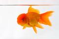 goldfish closeup on the underwater  - PhotoDune Item for Sale