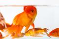 beautiful goldfish closeup - PhotoDune Item for Sale