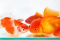goldfish closeup - PhotoDune Item for Sale
