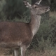 Female Deer Looking at the Camera - VideoHive Item for Sale