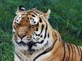 Old Siberian tiger - PhotoDune Item for Sale