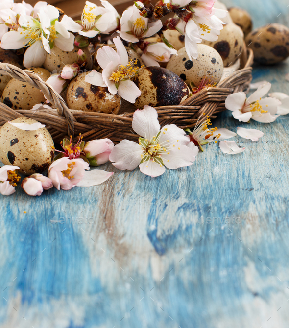 Quail eggs and almond flowers on  a blue wooden background - Stock Photo - Images