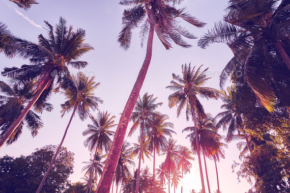 Coconut palm trees silhouettes at sunset, vacation concept. - Stock Photo - Images