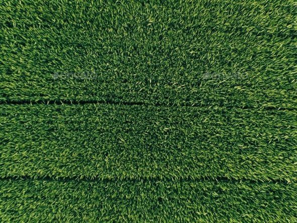 green country field of rye with row lines, top view, aerial photo - Stock Photo - Images