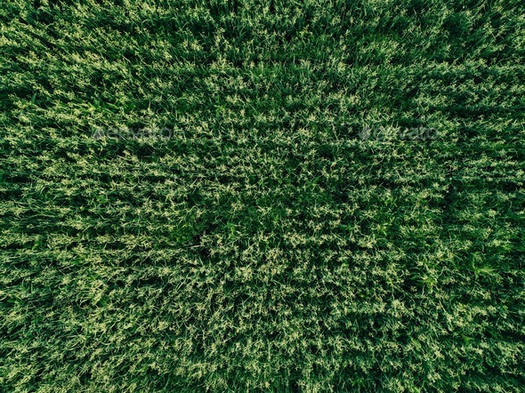 green country field of wheat with row lines, top view, aerial photo - Stock Photo - Images