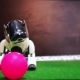 White Dog Robot Slowly Approaches Toy Ball - VideoHive Item for Sale