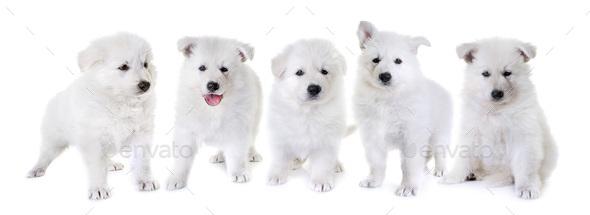 puppies White Swiss Shepherd Dog - Stock Photo - Images