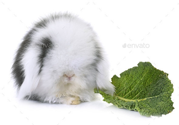 lop-eared  rabbit in studio - Stock Photo - Images
