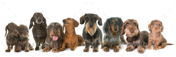 group of dachshunds in studio - Stock Photo - Images