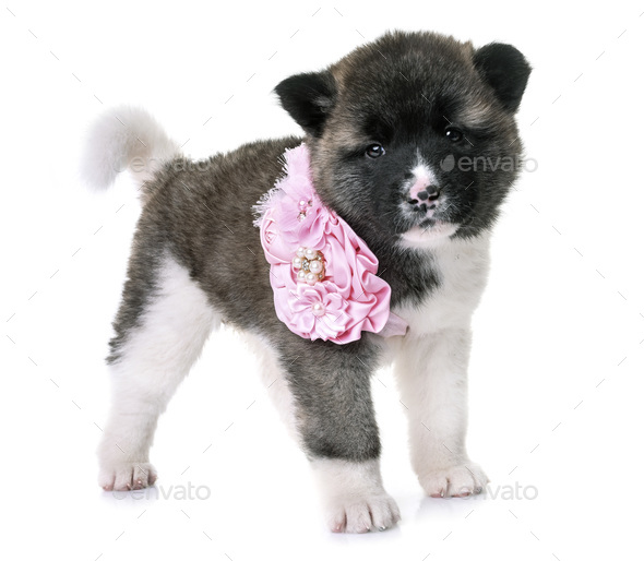 puppy american akita - Stock Photo - Images