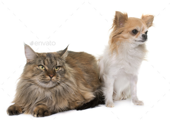 maine coon cat and chihuahua - Stock Photo - Images